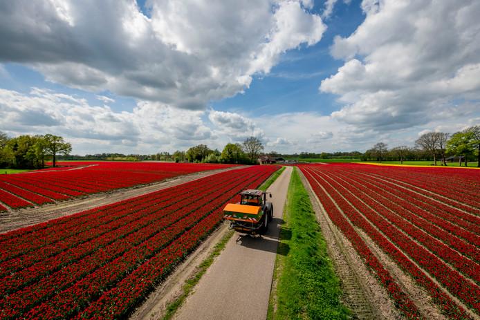 TUBBERGEN - Tulpen in de weilanden bij de Hardenbergerweg/Bosweg. Bloemen bloemenzee tulp tulpen    EDITIE: VRIJE FOTO FOTO: Emiel Muijderman EVM20180423