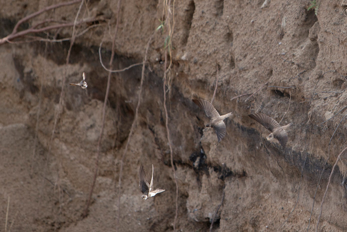 Oeverzwaluwen hebben hun intrek genomen in de wanden van de archeologische opgravingen in de Noorderhaven. De werkzaamheden zijn voor enkele maanden stilgelegd.
