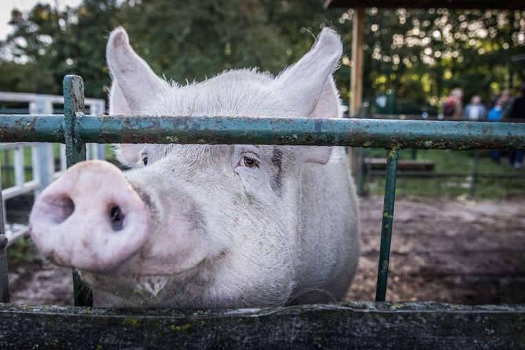 Gent, Campagne, schoolkinderen, gezonde voeding, bij de duiven, de konijnen en bij het varken Mano