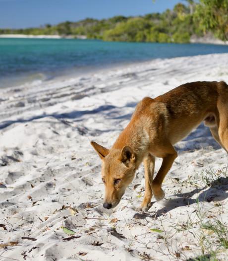 Dingo sleurt peuter uit camper in Australië