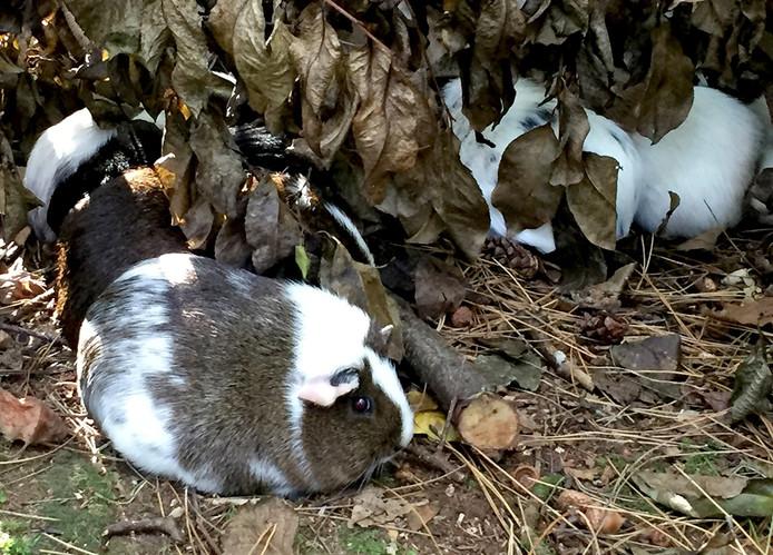 17 cavia's gevonden in bos bij Bergen op Zoom.