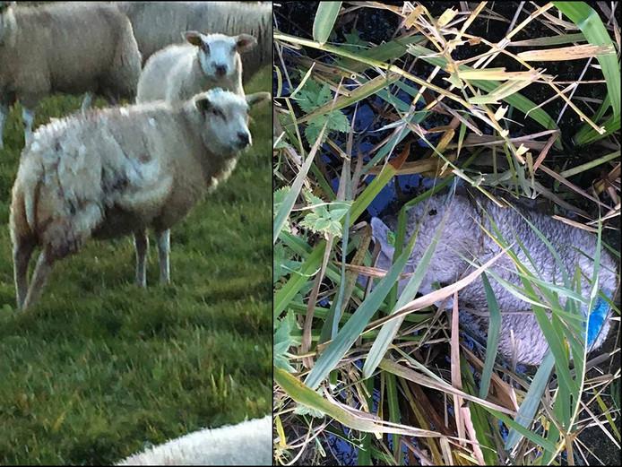 Foto's van een schaap met bijtwonden (links) en een verdronken schaap.