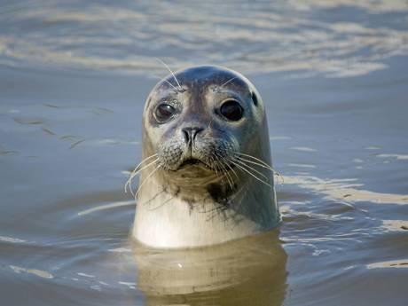 In Renesse gevonden zeehondje Dax doodgeschoten in Frankrijk