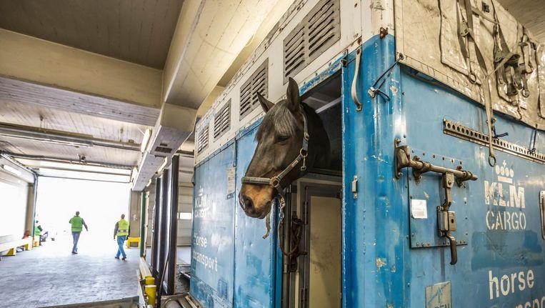 'Nederland is een belangrijke leverancier van fokdieren', aldus hotelmanager Liesbeth Kruijenaar Beeld Eva Plevier