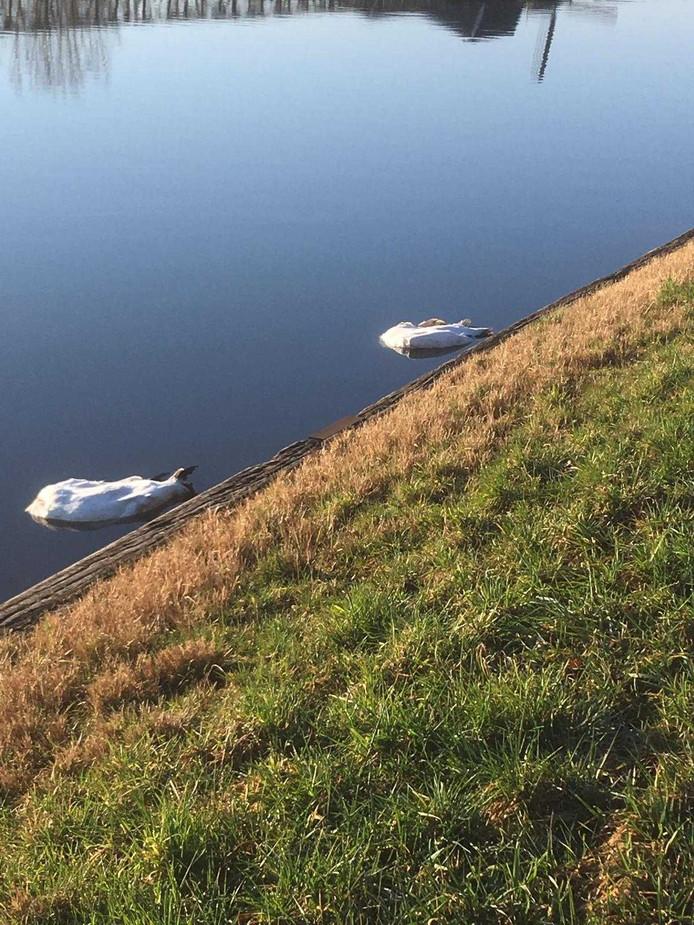 In het kanaal bij Lexmond zijn zondagochtend zes gedode zwanen aangetroffen.