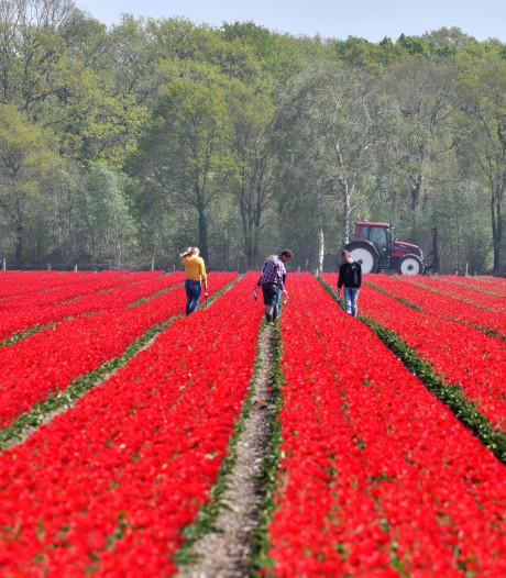 Tulpen uit Tubbergen extra toeristische attractie