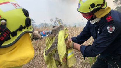 Australië treft maatregelen om koala te beschermen na bosbranden