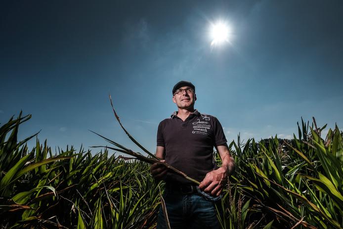 Door de droogte was de opbrengst van de mais in 2018 veel lager dan normaal, zoals bij deze boer in Drempt.