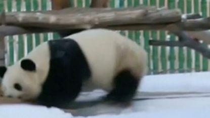 Schattig: panda's spelen enthousiast in eerste sneeuw