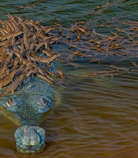 Krokodil wacht geduldig tot honderdtal jongen op rug is geklauterd om rivier over te steken