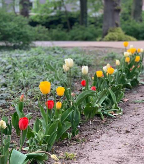 Oeteldonksche tulpen voor Tervoort