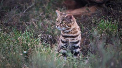 Deze schattige kitten is eigenlijk de dodelijkste kat ter wereld