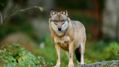 Zes jaar na eerste waarneming: ook in Ardennen bijt wolf schaap dood