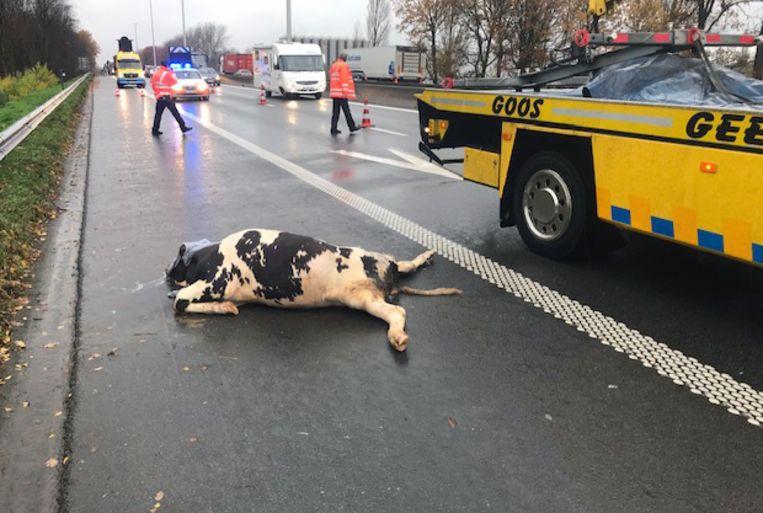 Twee koeien overleefden het ongeval niet.
