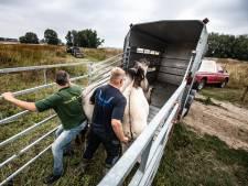 Koniks naar Biesbosch en voorlopig gered van de slacht