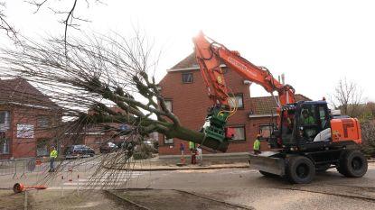 Ciamberlanidreef ziet haar bomen verdwijnen