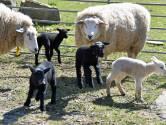 Lammetjes op kinderboerderij Terneuzen moeten het nu zonder kraamvisite stellen