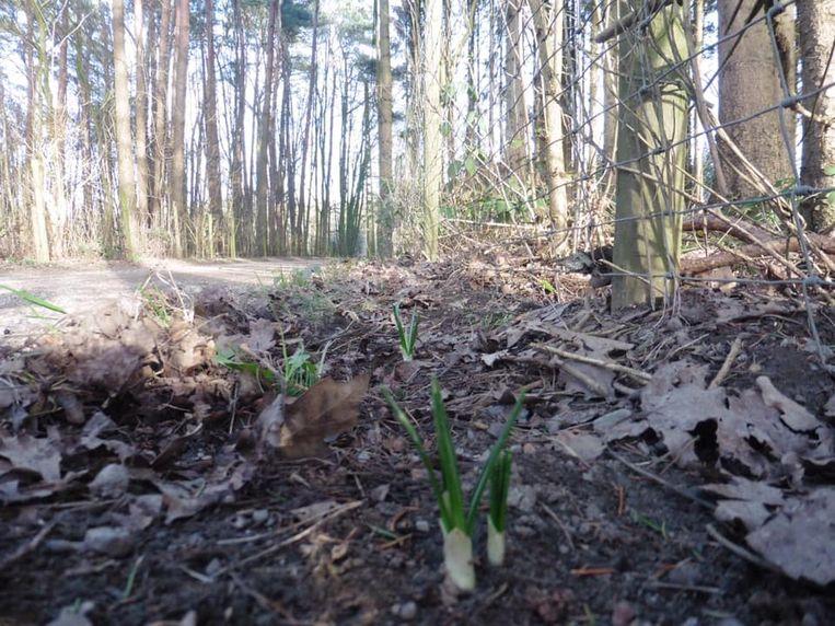 Aan de Boswegel in Stekene zijn de krokussen al opgedoken op het tracé van de Dodendraad.