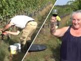 Druivenoogst in Groesbeek is begonnen