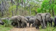 De olifant verliest zijn slagtanden