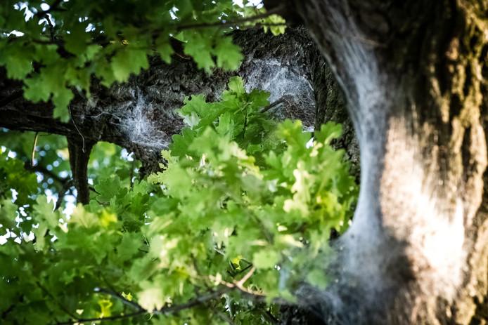 Een nest met processierupsen op een eikenboom. De overlast van de rups neemt vanwege het warme weer in rap tempo toe.