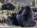 Zwarte beren Ziezo Volkel voor het eerst naar buiten