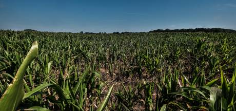 Maisoogst dreigt door droogte te mislukken