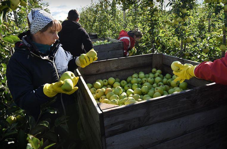 Het is een prachtig seizoen voor appels en peren door de zachte nazomer en herfst. Beeld Marcel van den Bergh