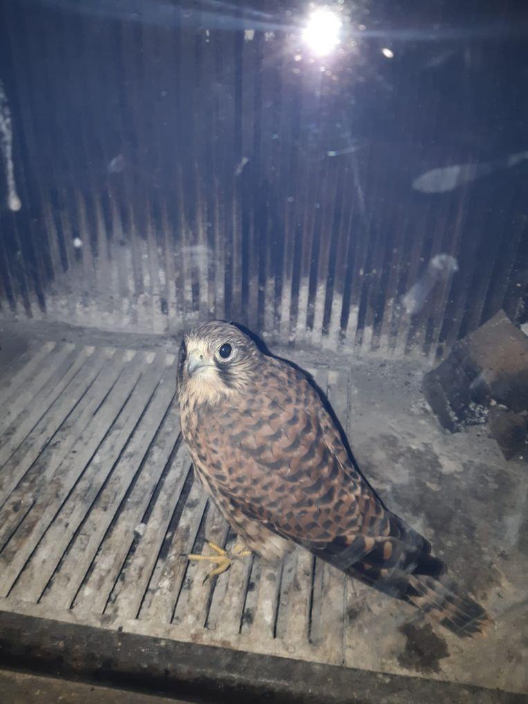 Deze roofvogel kwam klem te zitten in de schouw van de familie Van Den Eede.