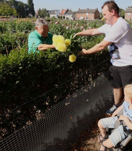 Dahlia's 'gewoon' aan de man gebracht in Veldhoven, maar wel over de heg aangereikt