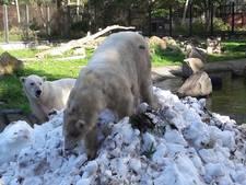 Nijmeegs ijs naar ijsberen in Rhenen