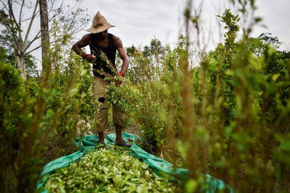 Een Venezolaanse migrant verwerkt cocabladeren in Norte de Santander  in Colombia.