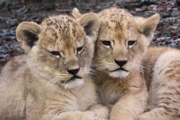 De leeuwenwelpjes in DierenPark Amersfoort hebben nu namen.