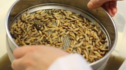 Kunnen vliegenlarven afval sorteren? Geelse wetenschappers onderzoeken het