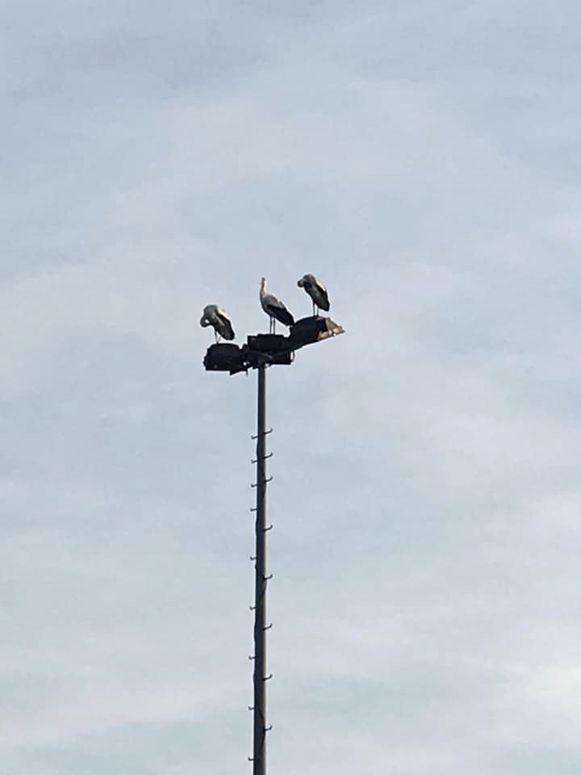 De ooievaars streken donderdagnamiddag neer in Nieuwmoer.