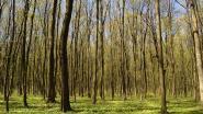 Destelbergen plant nieuwe bos 1000 vuren (en heeft daarvoor uw hulp nodig)