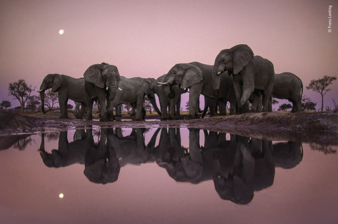 Op een avond in Botswana, waadde fotograaf Frans Lanting in een watergat om een glinsterende weerspiegeling op te vangen van een verzameling olifanten in de schemering, met een volle maan aan een stralende roze hemel.
