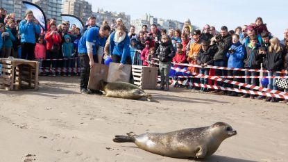 Zieke zeehondjes op strand? Gewoon laten liggen, zeggen ze in Nederland