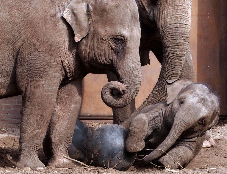 De olifanten in hun huidige verblijf. Beeld Artis