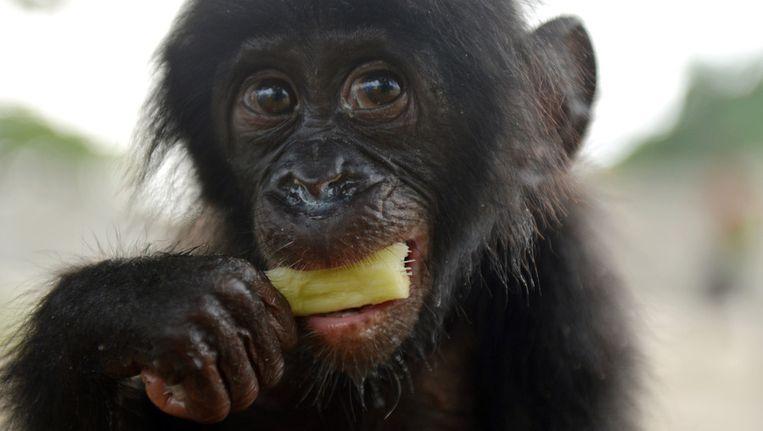 'De bonobo en de tien geboden' Beeld anp