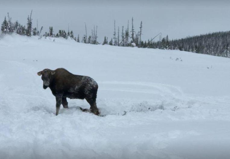 De eland kijkt nog een paar keer om naar zijn redders, voor hij zijn weg vervolgt.