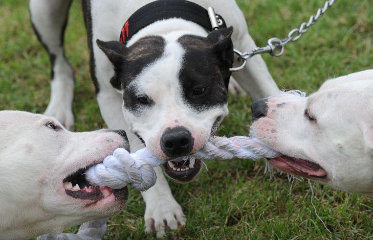 De pitbull reageert eerder agressief reageren op andere honden.