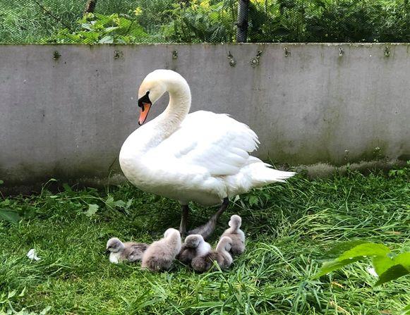 De moederzwaan met haar vijf kuikens in het vogelopvangcentrum in Oostende.