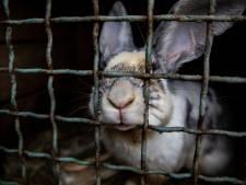 Animal Rights toont beelden van dierenleed bij konijnenfokkers in Halle, Wehl en Leur