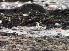 Het is gelukt: geplaagde bontbekplevier van Kattendijke heeft nu drie jongen