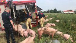 Vrachtwagen met varkens kantelt in Lubbeek
