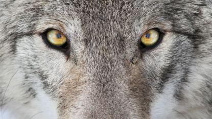 Wolven kunnen geen blauwe ogen hebben en nog 7 kenmerken waarmee je een wolf kan onderscheiden van een hond
