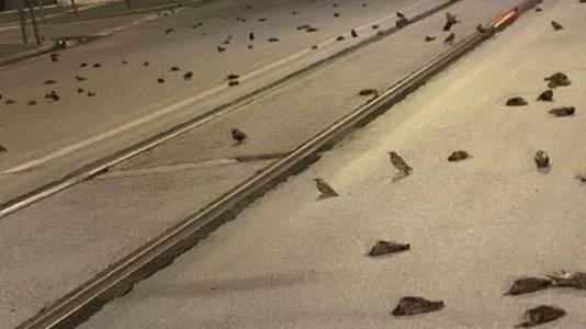 Honderden spreeuwen liggen dood op de weg in Rome.