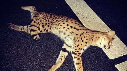 Zwaar geëmotioneerde eigenaar haalt doodgereden exotische kat op