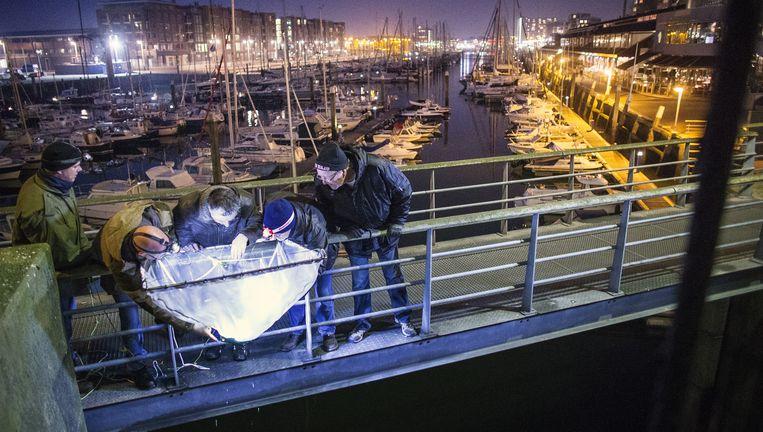 Vrijwilligers halen een net op bij de Scheveningse haven. Ze onderzoeken hoeveel palingen, spieringen en andere vissen landinwaarts trekken. Beeld Jiri Buller